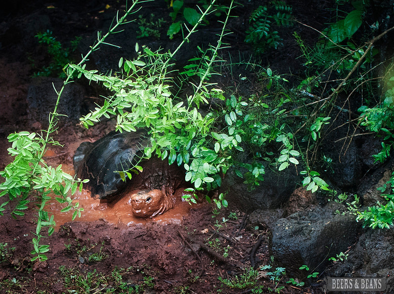 A Galapagos tortoise bathing in the mud on Santa Cruz Island.